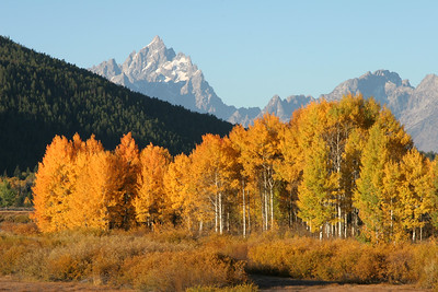 Aspens - Grand Teton National Park, Wyoming