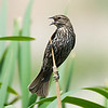 A female red winged blackbird, although itself a pretty bird, bears very little resemblance to its stark black male counterpart that carries a red shoulder patch on each wing.
