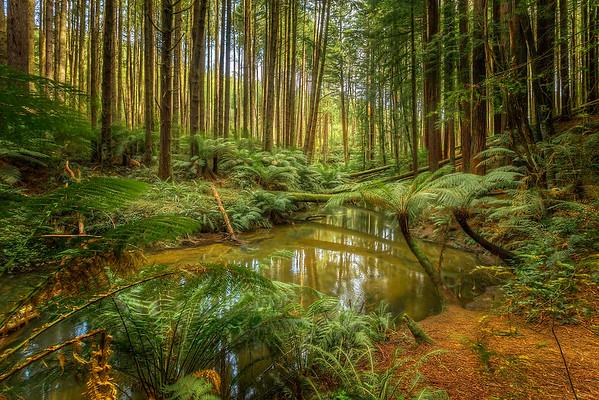 (1837) Beech Forest, Victoria, Australia