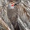 Male Flicker Woodpecker