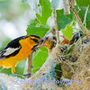 Male western tanager feeding feeding a chick.