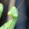 Eyeball to eyeball with a praying mantis.