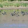 A flock of shorebirds in flight.