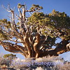 Great Basin Bristlecone Pine (Pinas aristata) one of nature's oldest living things; some trees date back 5000 years.