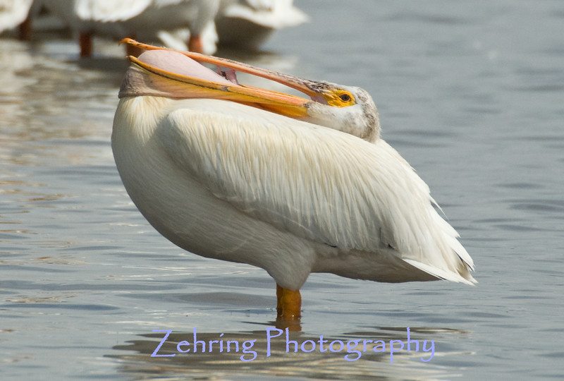 As if in some wierd yoga position this American white pelican folds back it's head as it's neck protrudes up through the lower bill.
