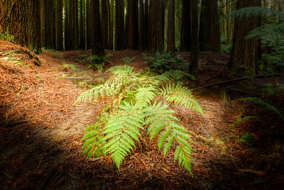 (Image#3413) Beech Forest, Victoria, Australia