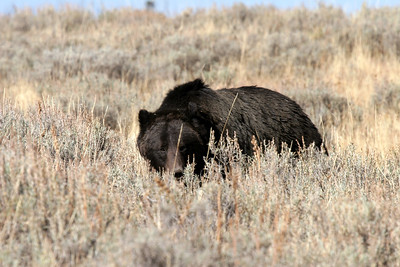 A grizzly that came far too close for comfort in Pelican Valley - Grizzly territory. This was just after I backed safely away. Yellowstone National Park, Wyoming.