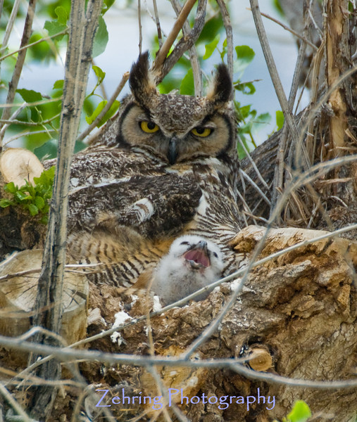 Only a few days old, this great horned owl chick yawns, as a protective momma keeps her eyes on me.