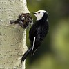 Female White-Headed Woodpecker missing the distinctive red band that appears on the head of her male counterpart.