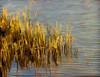 Potomac Reeds