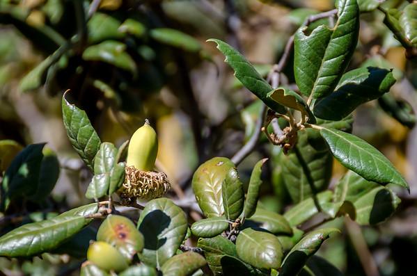 Troodos National Park: Yellow Oak