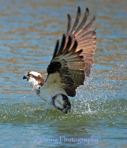 Osprey emerging from an unsucssesful dive for a fish.
