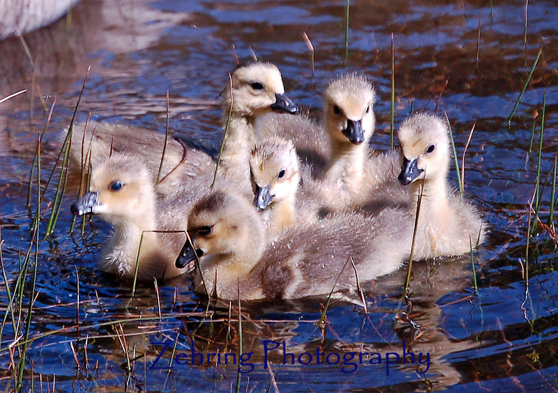 Canadian goslings huddle together for security.