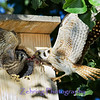 Parent Kestrel feeding it's young in flight.