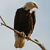 This magestic bird, the bald eagle, often spends long periods of time on a favorite perch surveying the landscape with incredible vision.