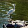 Snowy egret displaying head plumage