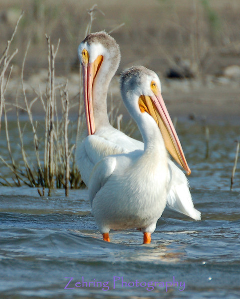A pair of white pelicans enjoy the late afternoon sun at Lahontan Reservoir, Nevada.