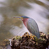 Green Heron. Florida Everglades
