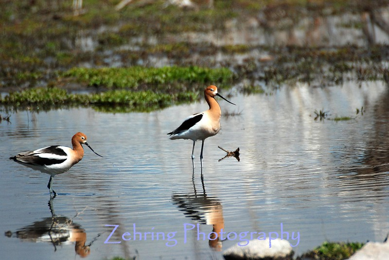 A pair of avocets search this shallow pool for insects and worms.