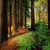 (2238) Beech Forest, Victoria, Australia