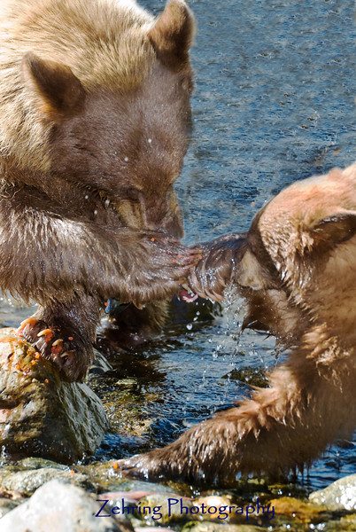 Mother and her cub have a tug-of-war over a female salmon creating a spray of salmon eggs over the battle zone.