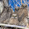 Great Horned Owls Mom and Babies