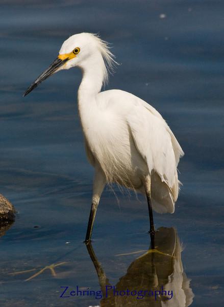Snowy egret stalking the shore of Virginia Lake, Nevada.
