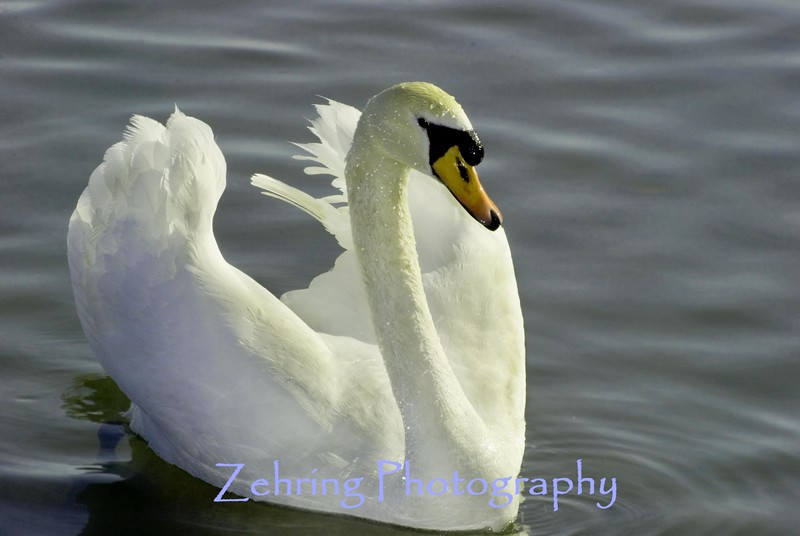 Mute Swan not common for this area.