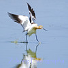 """""""touch down"""" -  this avocet appears to be walking on water as it comes in for a landing."""
