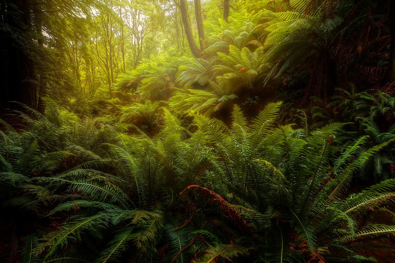 (2014) Beech Forest, Victoria, Australia