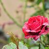 Dew Drops On A Garden Rose