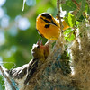 A male western tanager assumes the duty of feeding a pair of hungry mouths.
