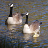 Ah, the security of mom and dad. Two Canadian geese guard over their young.