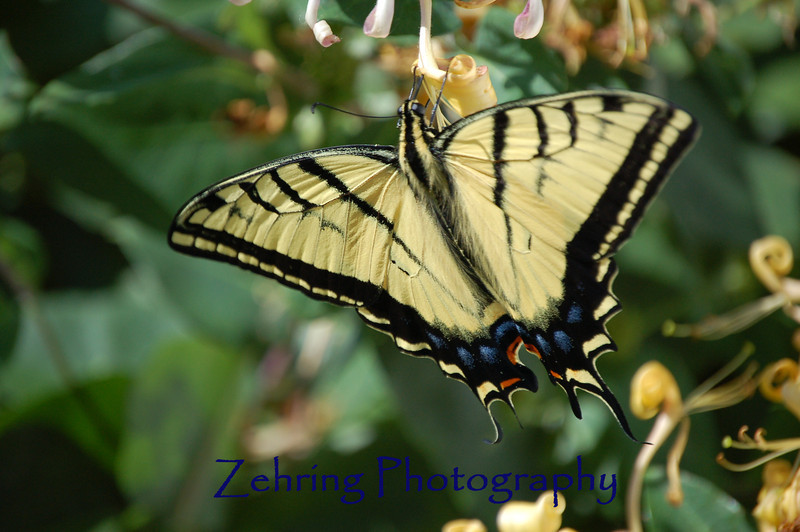 Tiger swallowtail butterfly feeds on a honeysuckle.