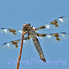Dragonfly perches in the morning sun.