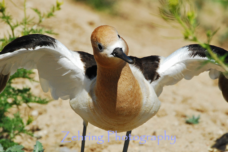 """An Avocet parent """"with a lot of moxie"""" shows no intimidation with our size diffrence as she makes it clear, my presence is not wanted!"""