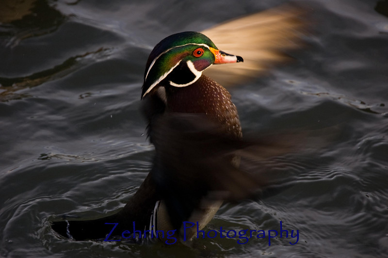 """The gift of a perfect lighting moment as this male wood duck performs a """"wing flap"""" in the eveniing sun. Thanks LORD!"""