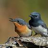 Pair of Leaden Flycatcher's