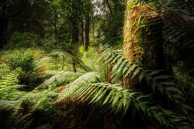 (Image#3390) Melba Gully, Victoria, Australia