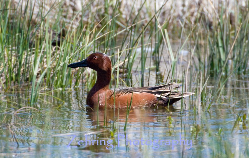 Male Cinnamon Teal navigates through the spring run-off