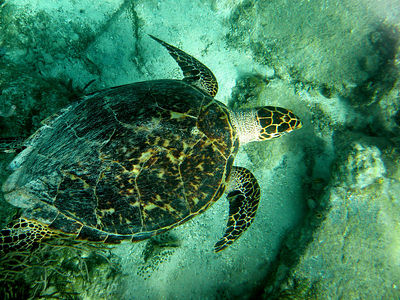 Our friend the sea turtle, in the Carribean in Little Harbor, Norman Island, BVI
