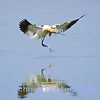 This avocet comes in for a graceful landing at a popular nesting site just outside of Reno, Nevada.