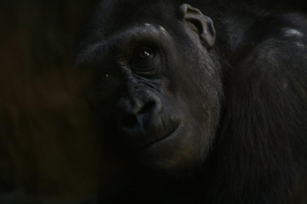Gorilla, Bronx Zoo