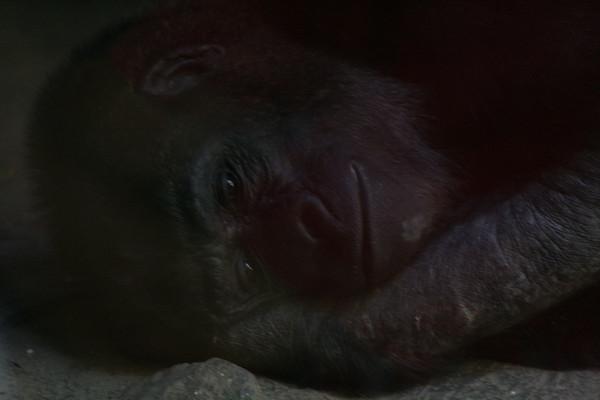 Contemplative Gorilla.