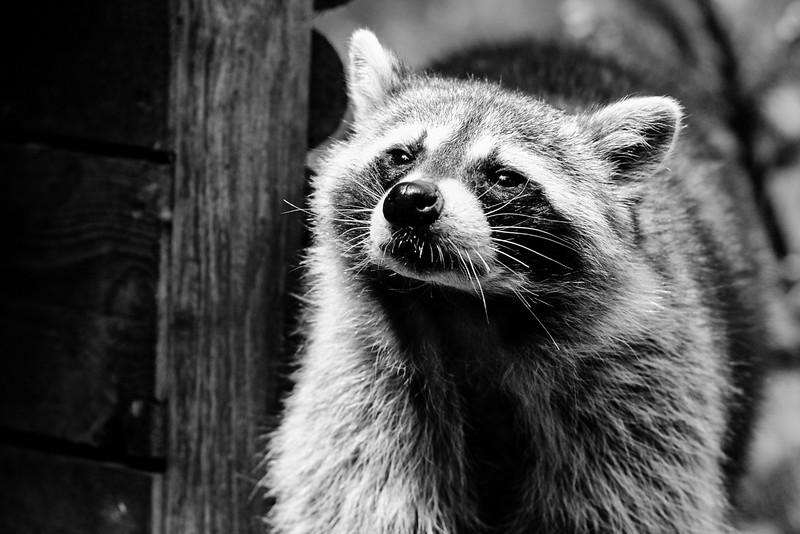 Raton laveur - Zoo d'Amnéville