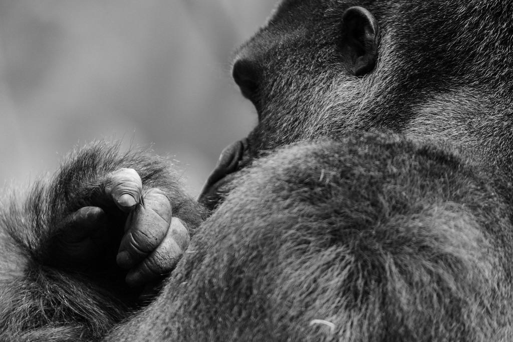 Gorille - Zoo d'Amnéville