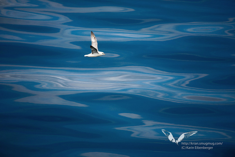 A bird flying over the sea in the Western Fjords of Iceland. Summer 2010.