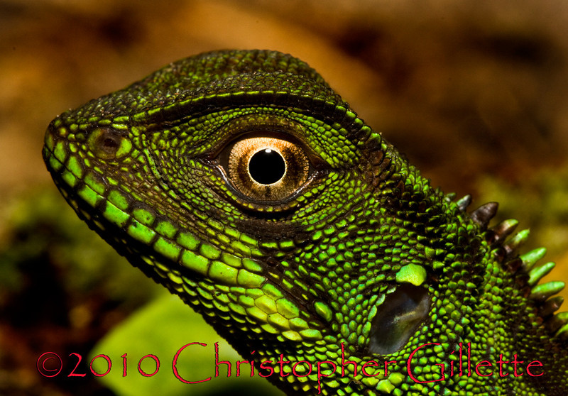 Enyaloides laticeps 2b