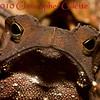 Bufo margaritifer