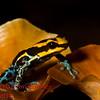 Dendrobates ventrimaculatus